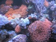 Koralle Krustenannemone Kupferannemonen