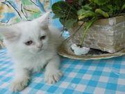 Sibirische Waldkatzen / Effi (