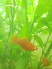 Aquariumfische