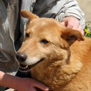 Dingo, Dackel- Labrador-