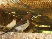 Japanische Mövchen Jungvögel Vögel aus