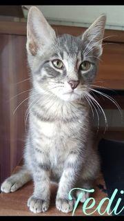 RussischBlau Mix Katzenbabys(