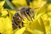 Bienen / Bienenvolk / Jungvölker /