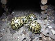 Griechische Landschildkröten Nachzucht Juli Sept