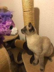 Siam Katze sucht