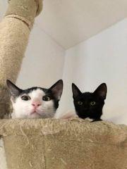 zwei geimpfte Katzenbabys Amy und