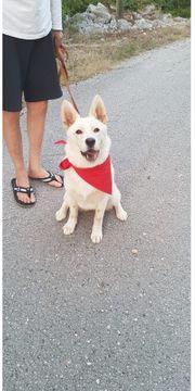 Luna 1 Jahr Schweizer Schäferhund
