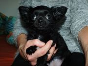 2 Chihuahua-Hündinnen schwarz