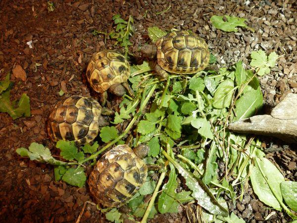 Griechische Landschildkröten (Testudo » Reptilien, Terraristik