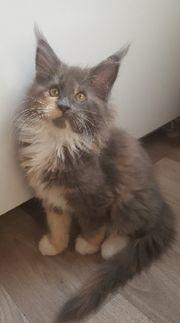 Maine Coon Kitten Stammbaum