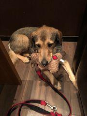 Traumhund sucht Familie