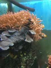 Anemonenfischpärchen