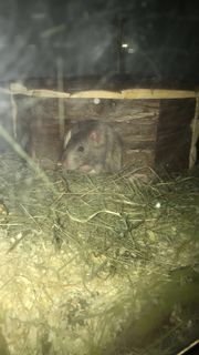 Ratten Böcke mit