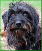 Lana 3 Jahre - Tibet-Terrier-Mix - Tierhilfe