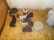 Junge Stallhasen, Kaninchen