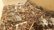 Junge Griechische Landschildkröten -