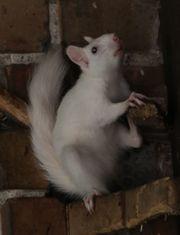 Putzige zahme Eichhörnchen in weiß