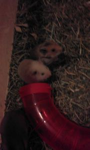 Hamster 7 wochen