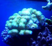 Meerwasser Picolipora gelb