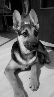 Deutscher Schäferhund Mischling