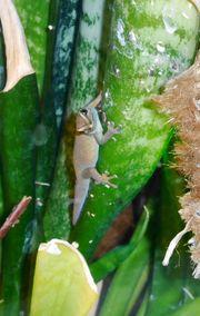 Lygodactylus williamsi - Himmelblauer Zwerggecko mit