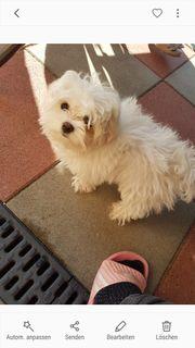 Hund mini malteser