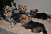 Niedliche Yorkshire Terrier Welpen